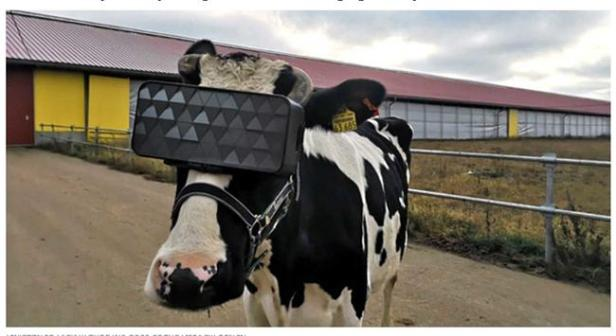 cow and vr